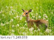 Купить «Карликовая антилопа дик-дик», фото № 1249019, снято 9 июня 2009 г. (c) Дмитрий Иванов / Фотобанк Лори