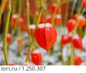 Купить «Оранжевый физалис под первым снегом в ноябре», эксклюзивное фото № 1250307, снято 1 ноября 2009 г. (c) Юрий Морозов / Фотобанк Лори