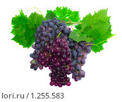 Купить «Гроздья темного  винограда с зелеными листьями», фото № 1255583, снято 20 июня 2009 г. (c) Vitas / Фотобанк Лори