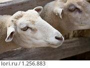 Купить «Овцы», фото № 1256883, снято 11 августа 2009 г. (c) Тимофей Косачев / Фотобанк Лори