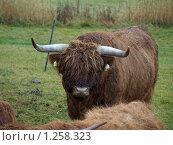 Норвежский бык. Стоковое фото, фотограф Зоя Степанова / Фотобанк Лори