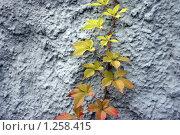 Желтые листья на фоне стены. Стоковое фото, фотограф Диана Карлова / Фотобанк Лори