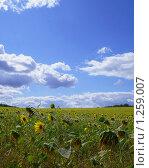 Подсолнечное поле под голубым небом с облаками. Стоковое фото, фотограф Дамир Фахретдинов / Фотобанк Лори