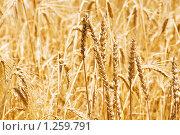 Купить «Колосья пшеницы», фото № 1259791, снято 27 июня 2008 г. (c) Elnur / Фотобанк Лори
