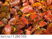 Купить «Яркий кустарник осенью. Кизильник черноплодный (Cotoneaster melanocarpus)», эксклюзивное фото № 1260103, снято 14 октября 2009 г. (c) Алёшина Оксана / Фотобанк Лори