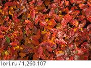 Купить «Яркий кустарник осенью. Кизильник черноплодный (Cotoneaster melanocarpus)», эксклюзивное фото № 1260107, снято 14 октября 2009 г. (c) Алёшина Оксана / Фотобанк Лори