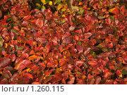 Купить «Кизильник черноплодный (Cotoneaster melanocarpus) осенью», эксклюзивное фото № 1260115, снято 14 октября 2009 г. (c) Алёшина Оксана / Фотобанк Лори