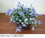 Купить «Комнатный цветок. Колокольчик», фото № 1263551, снято 7 апреля 2007 г. (c) Татьяна Иванова / Фотобанк Лори
