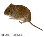 Купить «Полевка рыжая, Clethrionomys glareolus, Bank Vole», фото № 1266551, снято 15 марта 2008 г. (c) Василий Вишневский / Фотобанк Лори