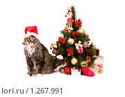 Купить «Кот в новогоднем колпаке сидит около новогодней ёлкой. Год Тигра.», фото № 1267991, снято 5 декабря 2009 г. (c) Ирина Карлова / Фотобанк Лори