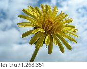 Купить «Одуванчик», эксклюзивное фото № 1268351, снято 20 мая 2009 г. (c) lana1501 / Фотобанк Лори