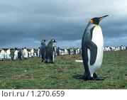 Колония императорских пингвинов. Стоковое фото, фотограф Leksele / Фотобанк Лори