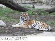 Купить «Амурский тигр», фото № 1271011, снято 28 ноября 2009 г. (c) Яременко Екатерина / Фотобанк Лори