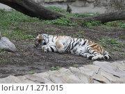Купить «Амурский тигр», фото № 1271015, снято 28 ноября 2009 г. (c) Яременко Екатерина / Фотобанк Лори