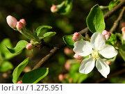 Яблоня в цвету. Стоковое фото, фотограф Feoktistova Natal'ya / Фотобанк Лори