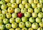 Красный анис среди антоновских яблок, эксклюзивное фото № 1276343, снято 12 сентября 2009 г. (c) Юрий Морозов / Фотобанк Лори