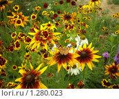 Рудбекия, цветы. Стоковое фото, фотограф Семен Красиков / Фотобанк Лори