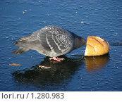 Купить «Голубь клюет хлеб на льду», эксклюзивное фото № 1280983, снято 5 ноября 2009 г. (c) lana1501 / Фотобанк Лори