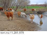 Коровы на водопое. Стоковое фото, фотограф Алёшина Оксана / Фотобанк Лори