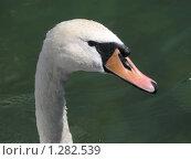 Белый лебедь. Стоковое фото, фотограф Жанна Яцук / Фотобанк Лори