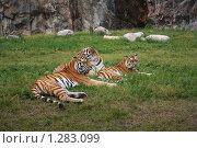 Тигры. Стоковое фото, фотограф Татьяна Шишкова / Фотобанк Лори