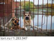 Купить «Две собаки лают из-за забора», фото № 1283947, снято 10 октября 2009 г. (c) Филонова Ольга / Фотобанк Лори