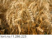 Пшеница. Стоковое фото, фотограф Марина Рябущиц / Фотобанк Лори