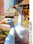 Купить «Два гуся», фото № 1290495, снято 28 июля 2009 г. (c) Анна Лурье / Фотобанк Лори