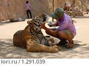 Волонтер чешет тигру шею, Тигровый монастырь в Тайланде (2009 год). Редакционное фото, фотограф Иванка Иванка / Фотобанк Лори