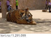 Тигр спит, тигровый монастырь в Тайланде. Стоковое фото, фотограф Иванка Иванка / Фотобанк Лори