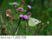 Купить «Цветочки чертополоха с бабочкой», эксклюзивное фото № 1293739, снято 19 июля 2009 г. (c) lana1501 / Фотобанк Лори