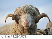 Купить «Баран», фото № 1294079, снято 14 января 2007 г. (c) Иван Нестеров / Фотобанк Лори