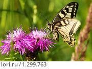 Купить «Махаон на цветах василька лугового», фото № 1299763, снято 16 сентября 2019 г. (c) Александр Савушкин / Фотобанк Лори
