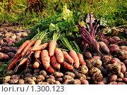 Купить «Урожай. Морковь, свекла, картофель», фото № 1300123, снято 20 сентября 2009 г. (c) Алексей Рогожа / Фотобанк Лори
