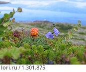 Купить «Северная ягода морошка на острове в Белом море», фото № 1301875, снято 22 июля 2006 г. (c) Александр Лазутин / Фотобанк Лори