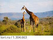 Купить «Семья африканских жирафов в национальном парке Кении», фото № 1304663, снято 28 октября 2008 г. (c) Станислав Белоглазов / Фотобанк Лори
