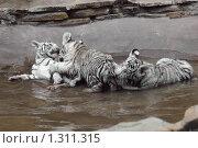 Купить «Детеныши белого тигра», фото № 1311315, снято 21 июня 2008 г. (c) Денис Ларкин / Фотобанк Лори