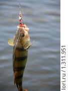 Купить «Окунь», фото № 1311951, снято 12 сентября 2009 г. (c) Юля Волкова / Фотобанк Лори