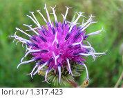 Купить «Цветок чертополоха», эксклюзивное фото № 1317423, снято 17 июля 2009 г. (c) lana1501 / Фотобанк Лори