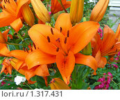 Купить «Оранжевые лилии», эксклюзивное фото № 1317431, снято 14 июля 2009 г. (c) lana1501 / Фотобанк Лори