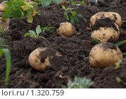 Картофель. Стоковое фото, фотограф Николай Истомин / Фотобанк Лори
