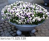 Купить «Фиолетово-белые анютины глазки», фото № 1325139, снято 27 апреля 2006 г. (c) Галина  Горбунова / Фотобанк Лори