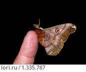 Купить «Бабочки острова Кунашир: ночной павлиний глаз», фото № 1335787, снято 17 сентября 2019 г. (c) Александр Огурцов / Фотобанк Лори