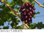 Купить «Сорт  Изюминка», фото № 1336675, снято 5 сентября 2009 г. (c) Евгений Кирюхин / Фотобанк Лори