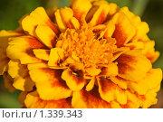 Цветок бархатца. Стоковое фото, фотограф Шередеко Катерина / Фотобанк Лори