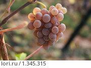 Виноград. Стоковое фото, фотограф Анастасия Селивёрстова / Фотобанк Лори