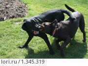 Играющие на лужайке собаки (Собачьи нежности) Стоковое фото, фотограф Анастасия Селивёрстова / Фотобанк Лори