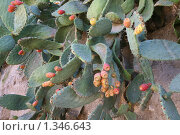 Купить «Съедобный кактус - опунция», фото № 1346643, снято 21 ноября 2009 г. (c) Наталья Волкова / Фотобанк Лори