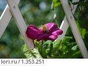 Купить «Фиолетовый клематис», эксклюзивное фото № 1353251, снято 10 августа 2009 г. (c) lana1501 / Фотобанк Лори