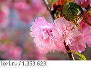 Купить «Нежно-розовые цветы сакуры крупным планом на естественном фоне», фото № 1353623, снято 26 апреля 2008 г. (c) Васильева Татьяна / Фотобанк Лори